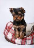 三在红细胞的长沙发的约克夏狗小狗 图库摄影
