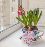 三在罐的美丽的在窗口的风信花和心脏 免版税库存照片