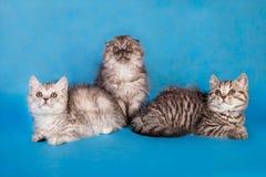 三在蓝色背景的小的可爱的蓬松小猫 库存照片