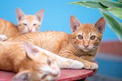 三在蓝色背景的猫 免版税库存图片