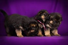 三在紫色背景的德国牧羊犬小狗 免版税图库摄影