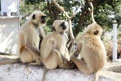 三在Shri Nathji寺庙的叶猴 免版税库存照片