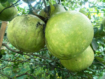 三大pomleo或葡萄柚在树 免版税图库摄影
