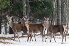 三头壮观的鹿 成人伟大的女性鹿鹿elaphus牧群  高尚的马鹿,站立在白俄罗斯森林画象 免版税库存照片