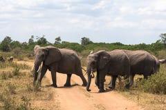 三头大象穿过路 肯尼亚mara马塞语 库存照片