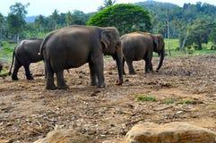 三头大象 免版税图库摄影