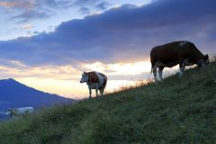 三头幼小母牛在领域站立 图库摄影