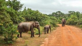 三头斯里兰卡的大象亚洲象属maximus maximus 库存图片