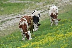 三头母牛在小山倾斜吃草  库存照片