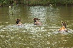三头母牛在高韦里河游泳对小岛,印度 免版税库存图片