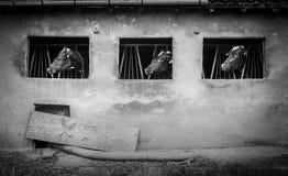 三头母牛黑白画象 免版税库存照片