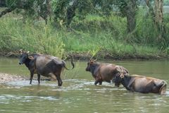 三头水牛母牛从高韦里河,印度出来 库存图片