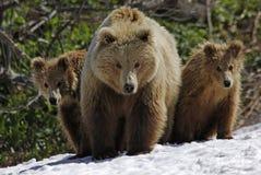 三头熊 免版税库存图片