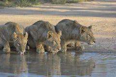 三头狮子喝从池水的,眼睛通过阳光和看起来打开了机敏 免版税库存照片