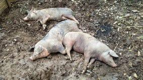 三头猪睡眠 免版税库存照片