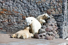 三头空白北极熊 免版税库存图片