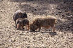 三头逗人喜爱的小的猪在仓库广场 免版税库存图片