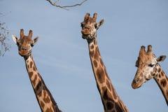 三头长颈鹿的头和脖子,被拍摄反对清楚的蓝天在口岸Lympne徒步旅行队公园在阿什富德附近,肯特,英国 免版税库存图片