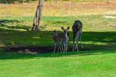 三头鹿在树荫下的得到一份饮料 库存照片