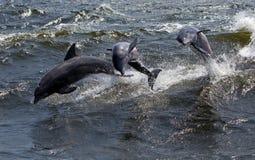 三宽吻海豚(Tursiops truncatus) 免版税库存图片