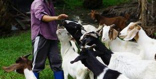 三岁的母亲山羊和牧人 图库摄影