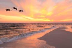 三布朗鹈鹕飞行靠近海滩在日落 免版税图库摄影