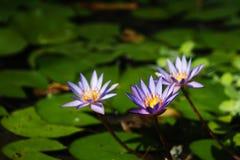 三开花在池塘的紫色荷花 库存图片