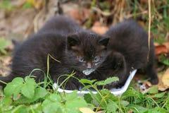 三户外黑逗人喜爱的无家可归的小猫饮料牛奶 免版税图库摄影