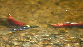 三文鱼序列红大马哈鱼产生 影视素材