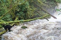 三文鱼的黑熊渔在瀑布附近在不列颠哥伦比亚省 免版税库存图片