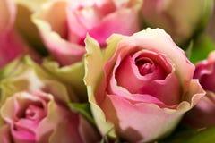 三文鱼色玫瑰 免版税图库摄影