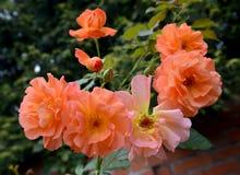 三文鱼颜色,关闭开花的玫瑰  库存图片