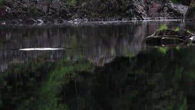 三文鱼,鳟鱼,跳跃沿平安的镇静河findhorn, morayshire,苏格兰 股票录像