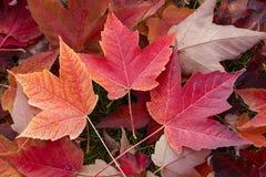 三明亮,美丽的秋天叶子 免版税库存图片