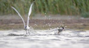 三明治燕鸥和共同的燕鸥。 库存图片