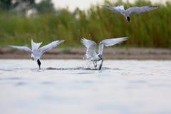 三明治燕鸥和共同的燕鸥 免版税图库摄影