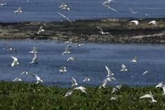三明治燕鸥,胸骨sandvicensis 免版税库存照片