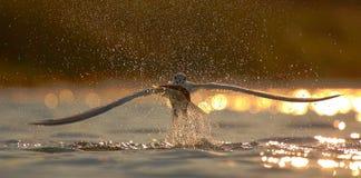 三明治燕鸥(Thalasseus sandvicensis)。 免版税库存图片