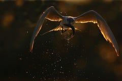 三明治燕鸥(Thalasseus sandvicensis)。 库存图片
