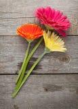 三朵五颜六色的大丁草花 免版税库存照片