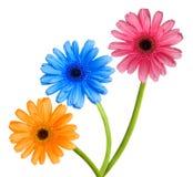 三朵五颜六色的花 免版税库存图片
