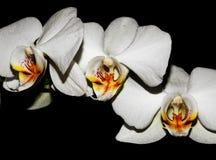 三朵兰花 库存图片