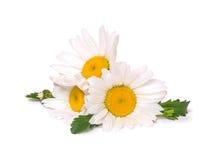 三朵在白色背景隔绝的大雏菊春黄菊 小组春天花 库存照片
