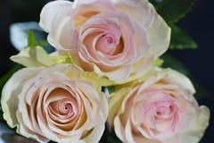 三朵在黑背景的桃红色玫瑰特写镜头 库存图片
