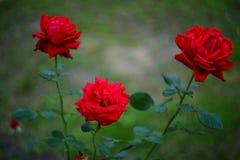 三朵大玫瑰 图库摄影