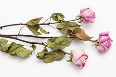 三朵干燥桃红色玫瑰 免版税库存照片