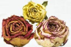 三朵干燥玫瑰,黄色,桔子,桃红色在白色背景 库存图片