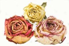 三朵干燥玫瑰,黄色,桔子,桃红色在白色背景 库存照片