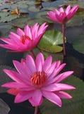 三朵开花的生动的桃红色莲花在湖 库存图片
