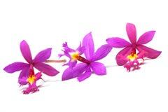 三朵微小的桃红色Eipdendrum兰花行  库存照片